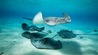 Bony Fish, Skates, Sharks, and Rays
