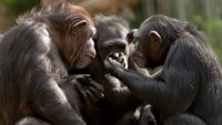 Monkey and Ape Social Behavior