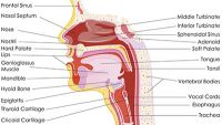 Digestive System-Anatomy of the Mouth, Esophagus, and Stomach