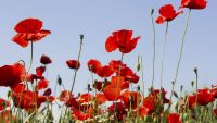 The Science of Poppies, Pleasure, and Pain