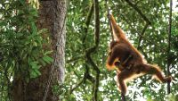 Orangutans: Photographing Animal Communities