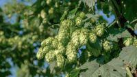 Malt, Hops, Yeast, Water: How Beer Is Made