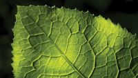 The Leaf as a Biochemical Factory