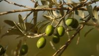 Classical Greece-Wine, Olive Oil, and Trade