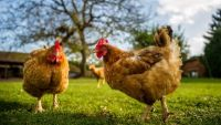 Raising Chickens on Your Homestead