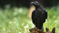 The Raven Paradox and New Riddle of Induction