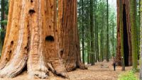 California's Coastal Redwood Parks